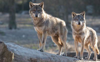 Binnen ieder mens strijden twee wolven